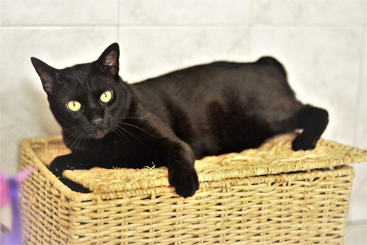black japanese bob tail
