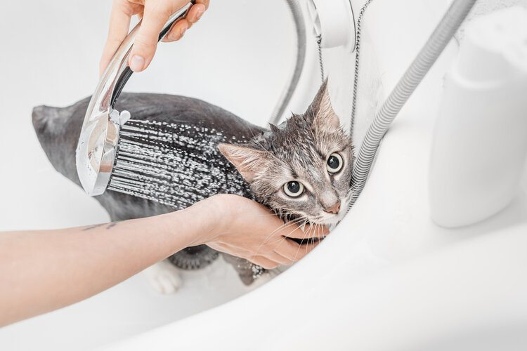 cat being washed in shower