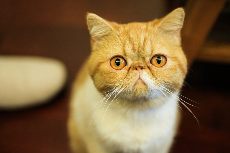 An Exotic Shorthair cat,or a garfield cat_evelyn jung_shutterstock