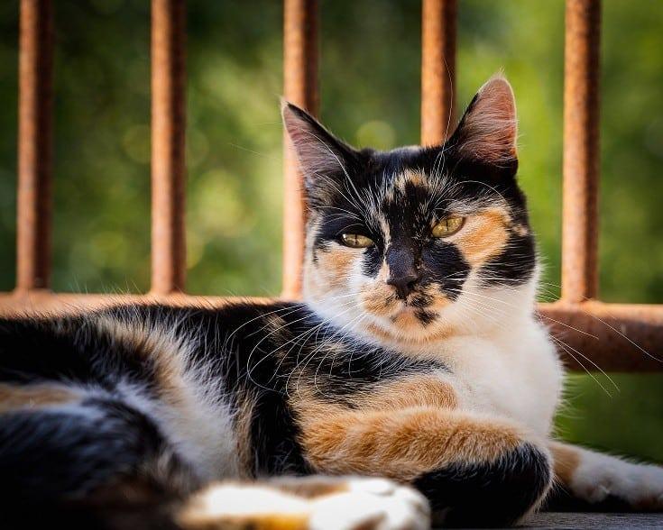 Calico Cat Posing