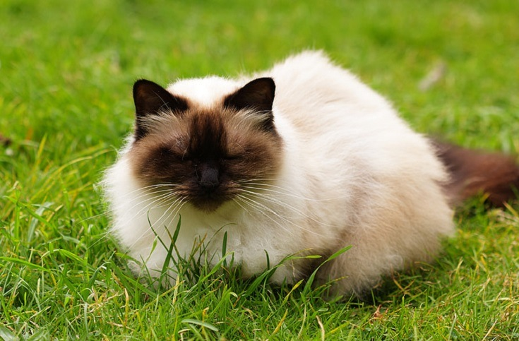 Chocolate Point Himalayan Cat