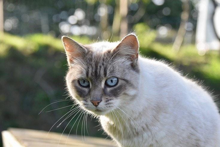 Cinnamon Point Cat