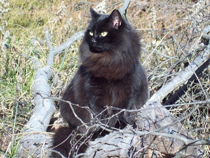 Solid Siberian Cat Color