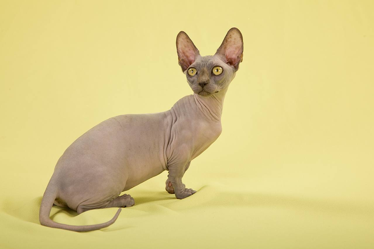 7 Cat Breeds With Very Short Legs With Pictures Excitedcats