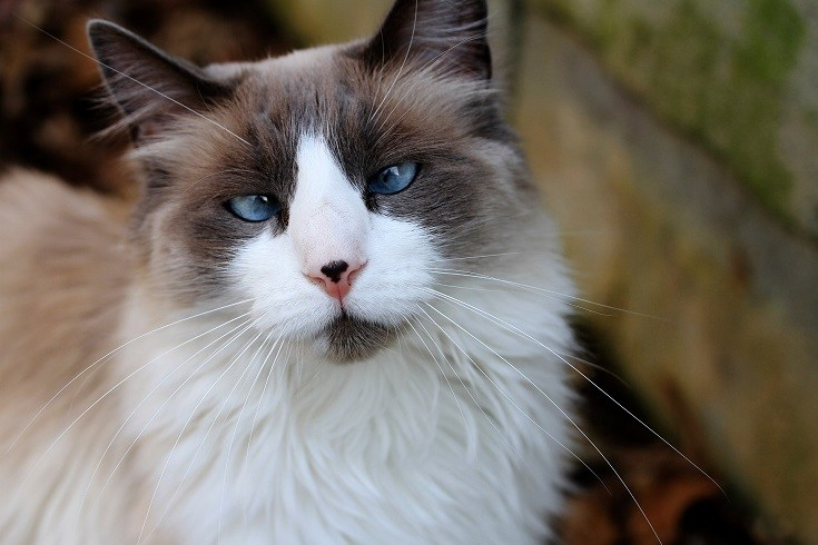 blue point cat