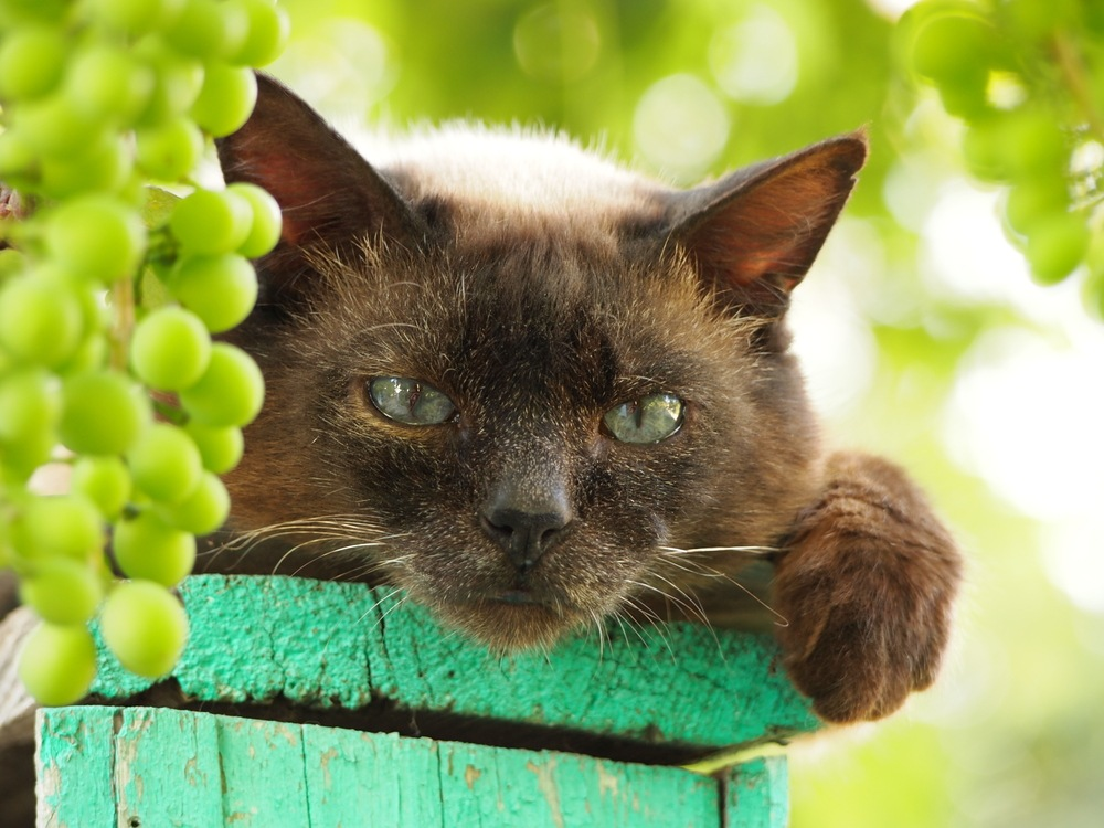 can cats eat grapes