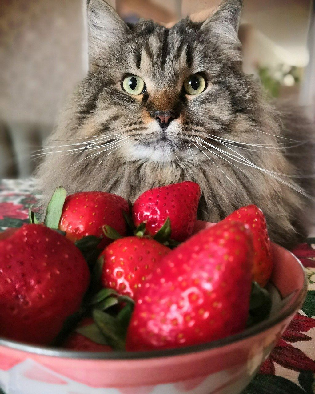 cat and strawberries