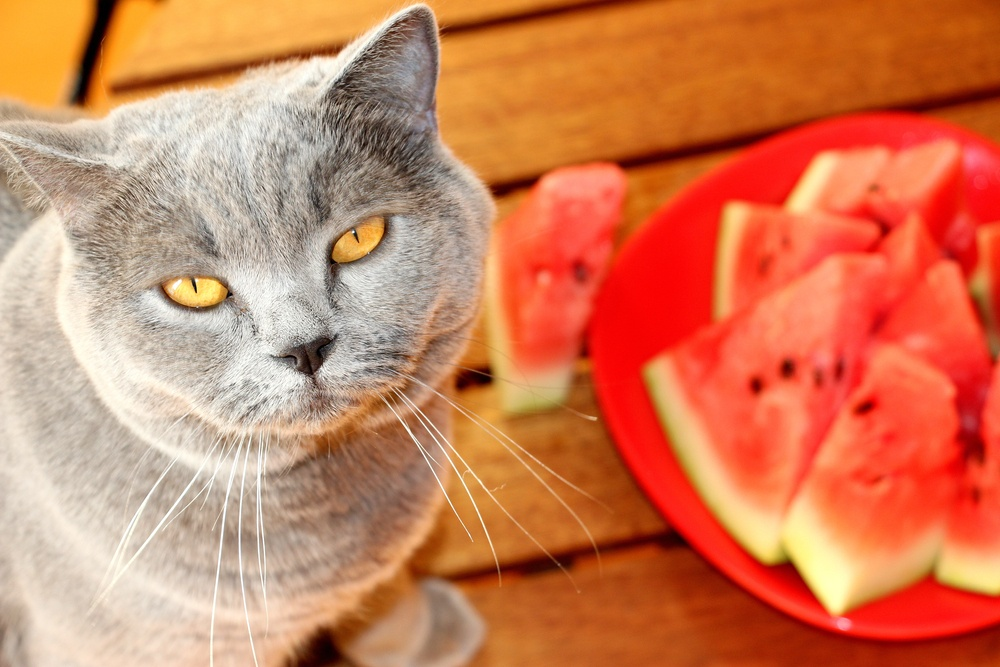 cat with watermelon