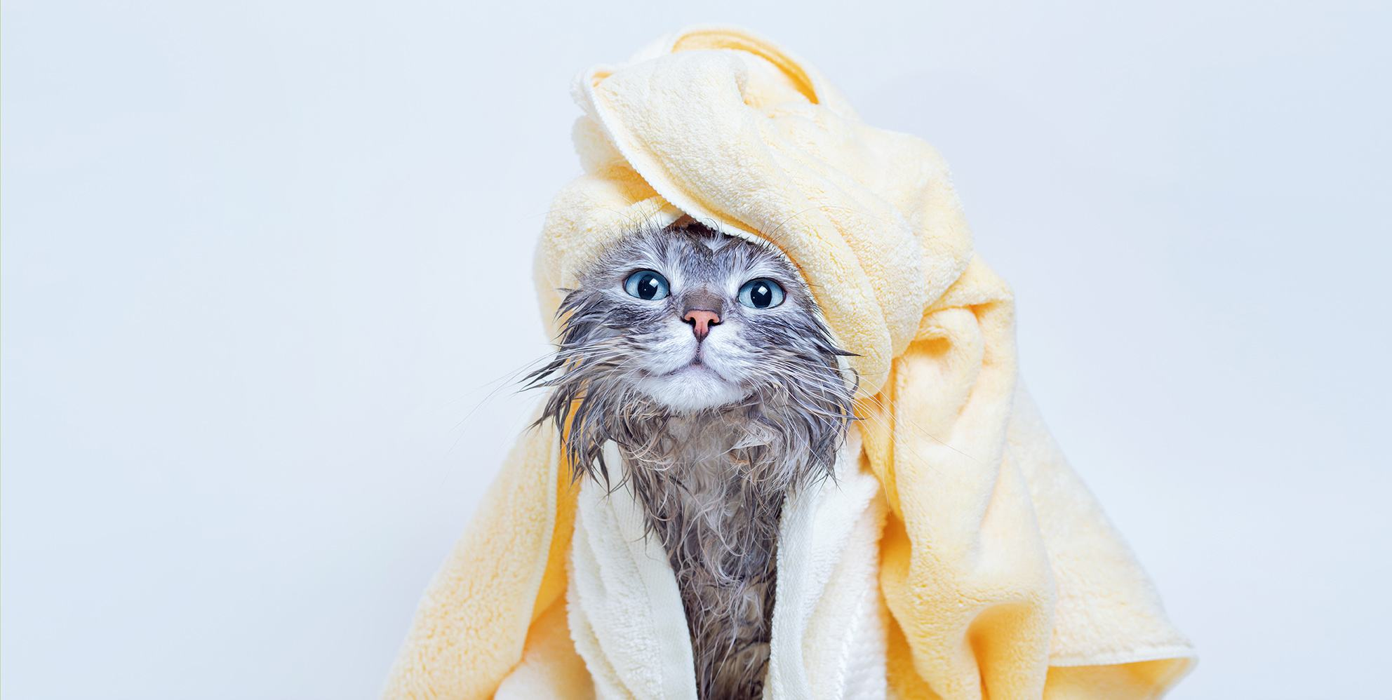 gray cat newly bathe