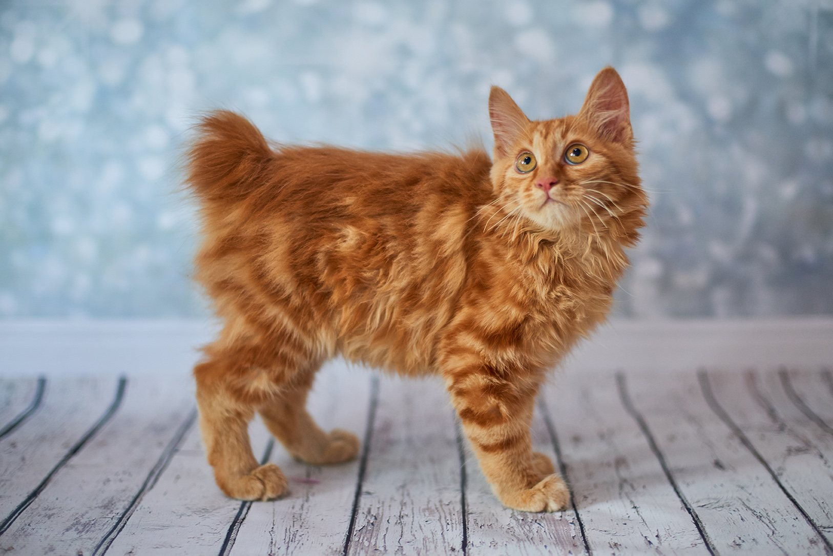 red american bobtail cat