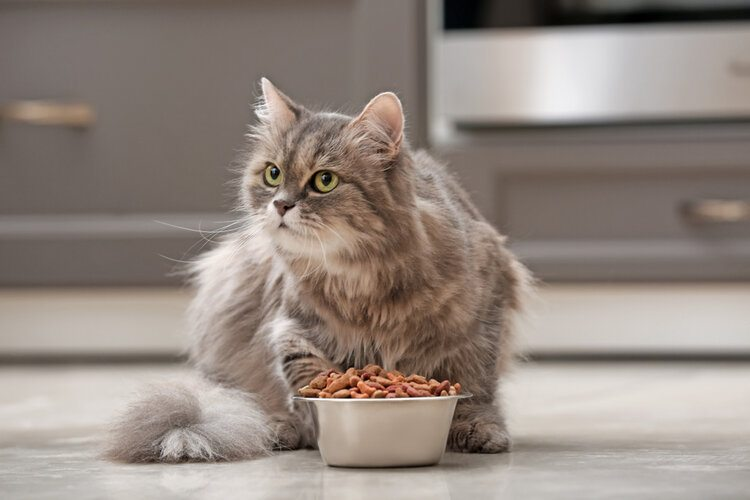 fluffy grey cat with food