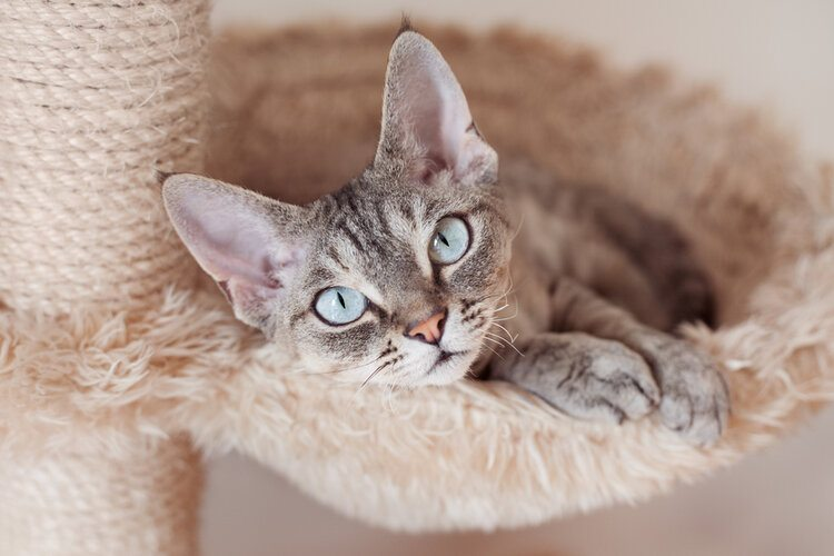 devon rex with blue eyes