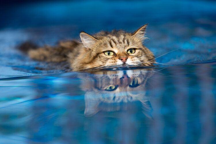 domestic cat swimming