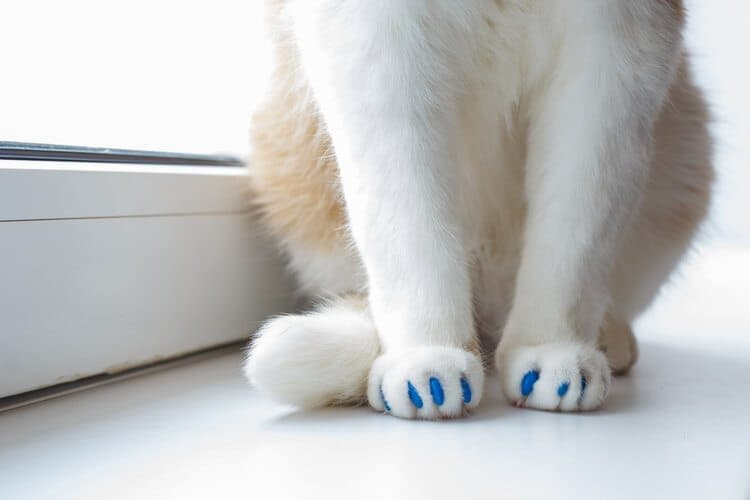 cat with blue nail caps