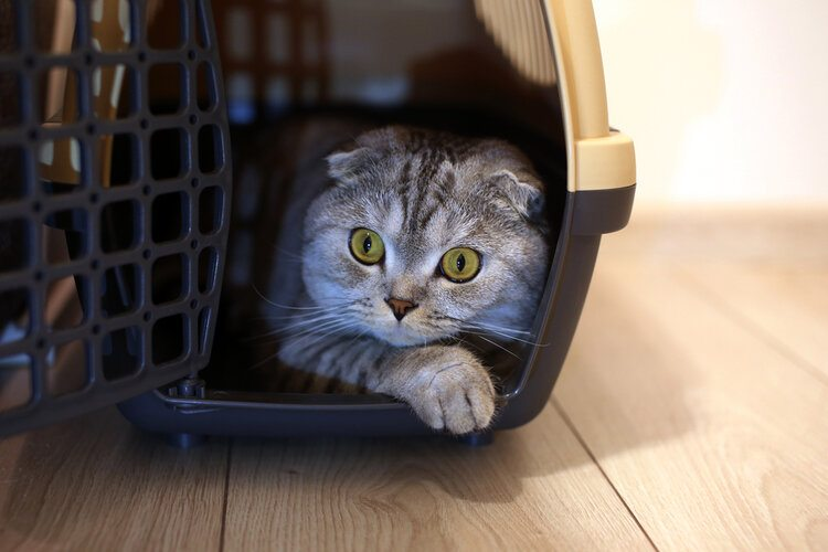 cat in cat carrier