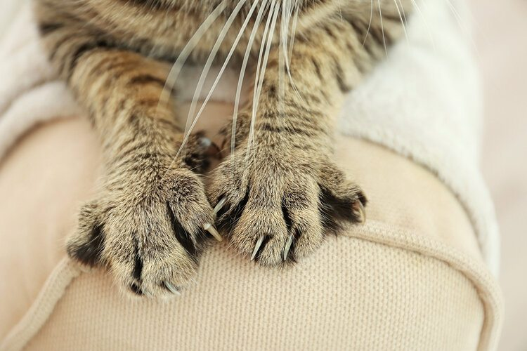 tabby cat claws