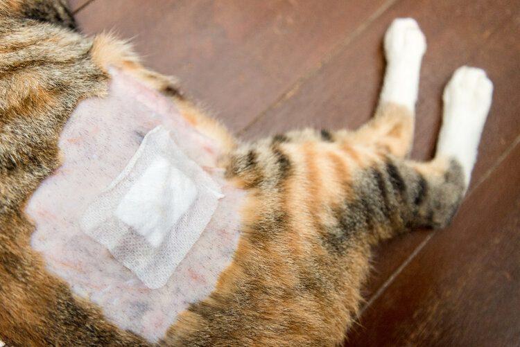 cat with bandage on leg