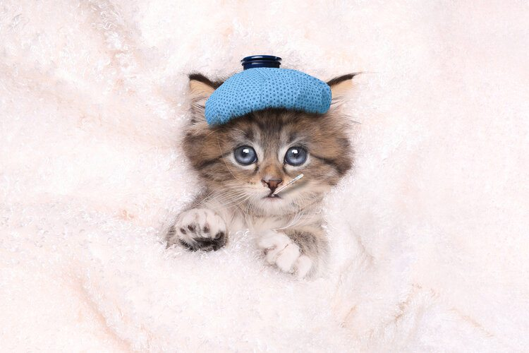 cat with ice pack on head