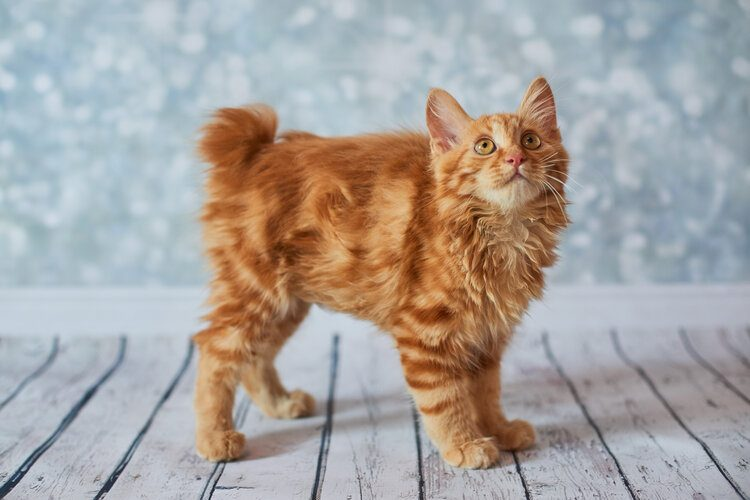 red american bobtail