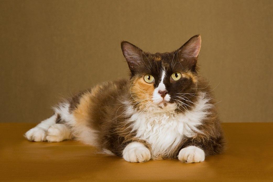 tri-color laperm cat