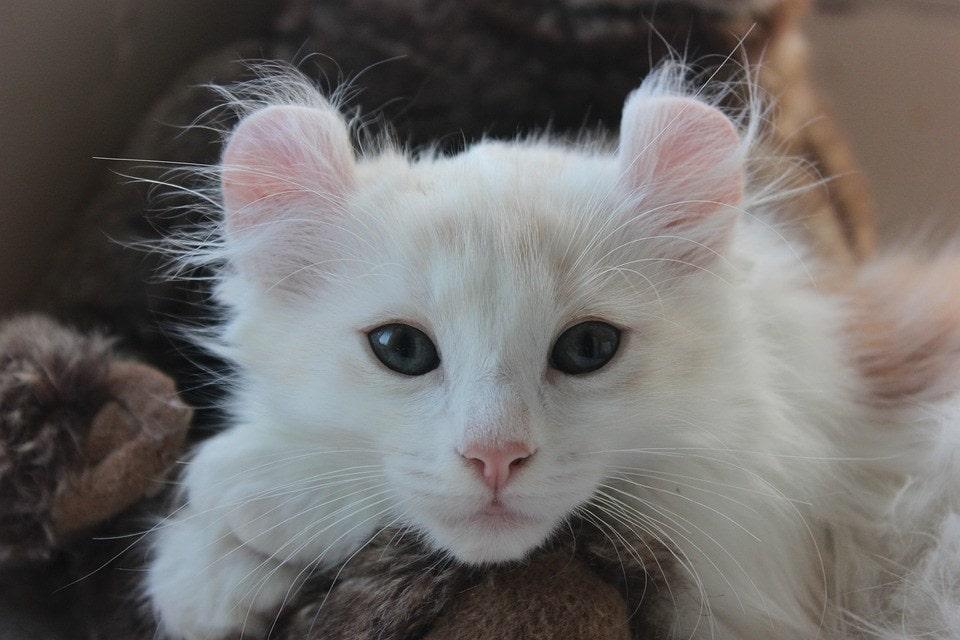 white American Curl kitten