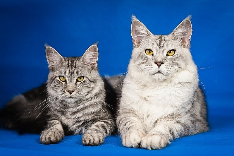 11Maine Coon