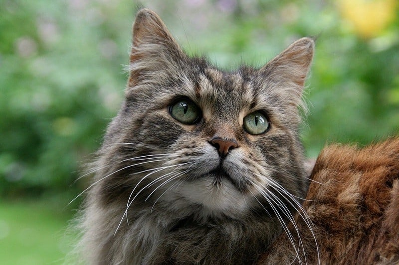 13Maine Coon