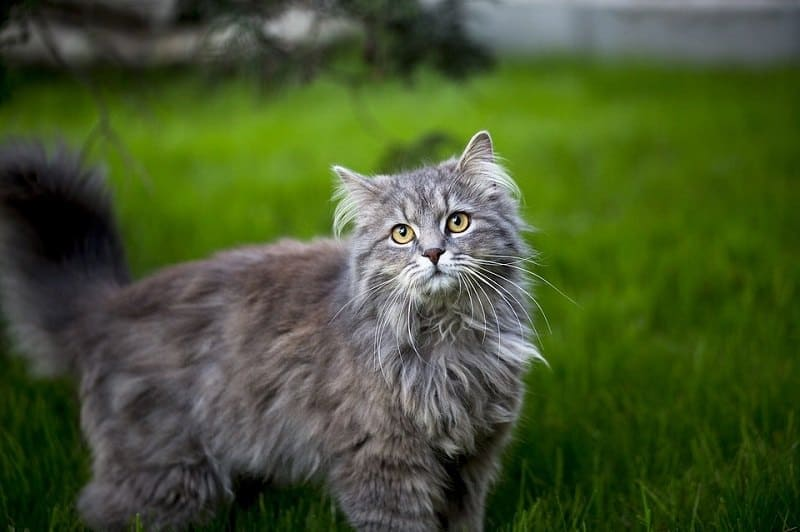 2Maine Coon