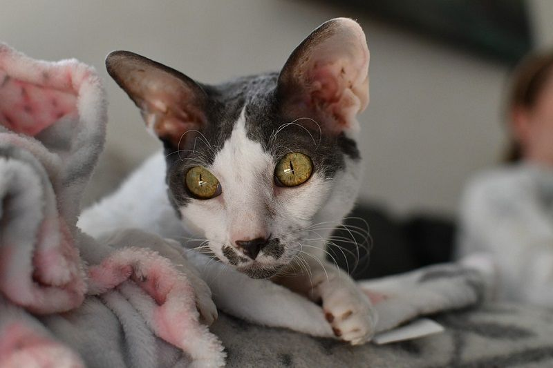4Cornish Rex