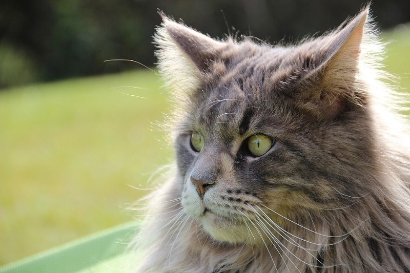 7Maine Coon