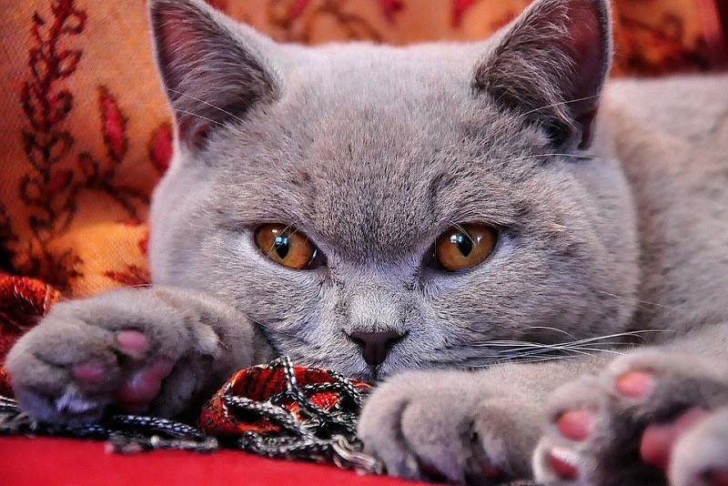 8British Shorthair