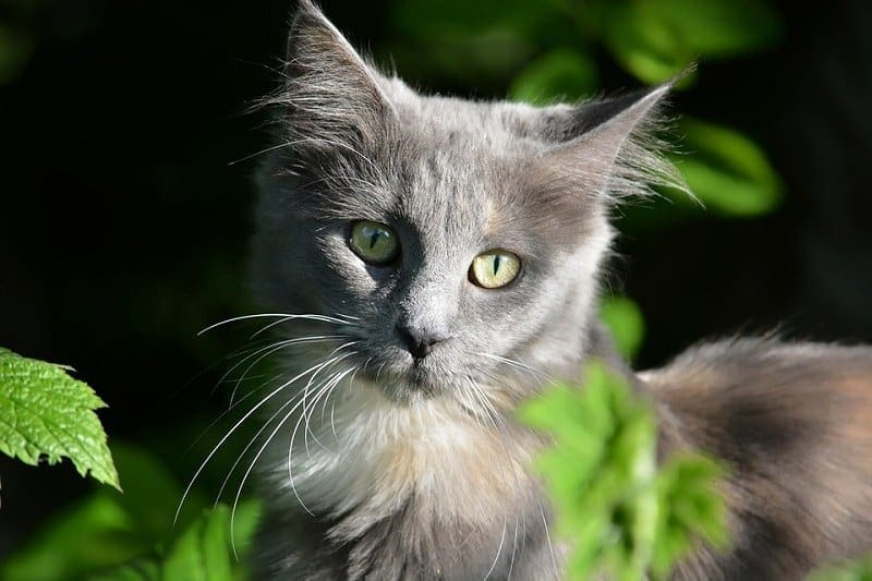 9Maine Coon