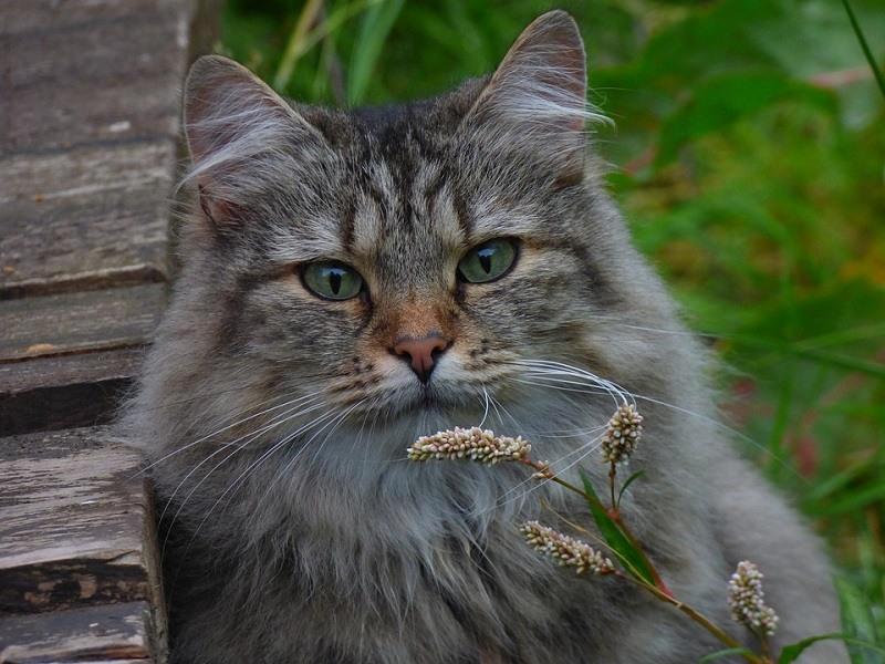 9Norwegian Forest Cat