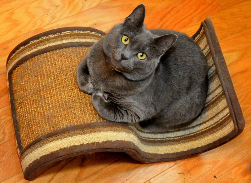 A Russian Blue cat sitting on a scratcher