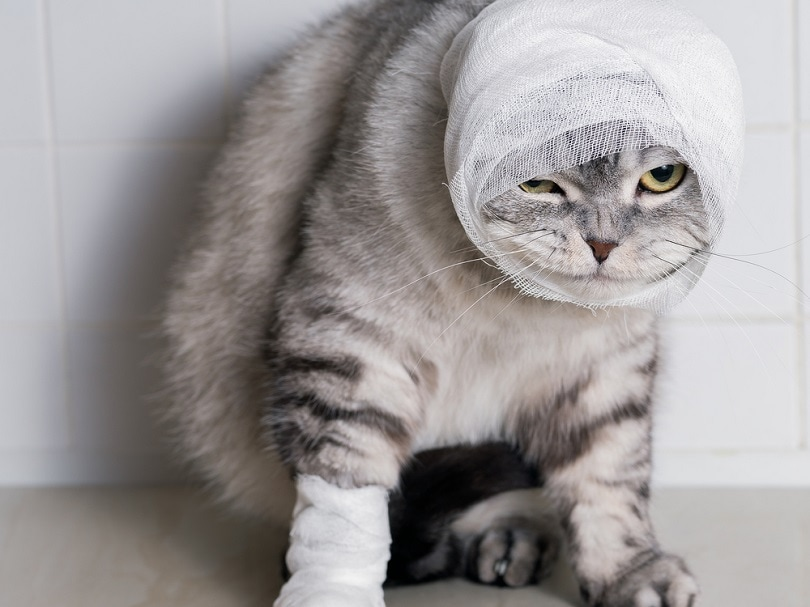 A domestic cat with a bandage