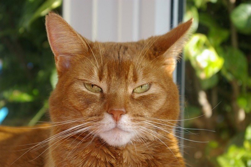Abyssinian serious