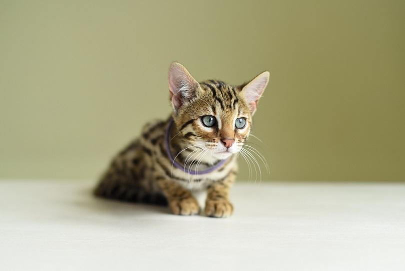 Asian leopard kitten_Yana Vydrenkova_shutterstock