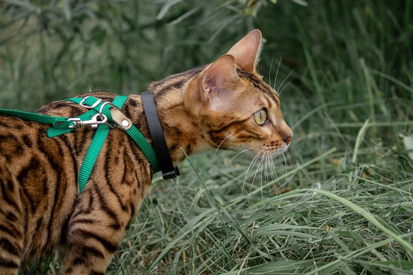 Bengal cat harness_Teksa_shutterstock