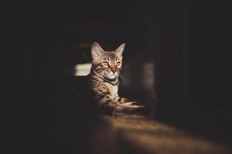 Bengal cat sitting on a floor