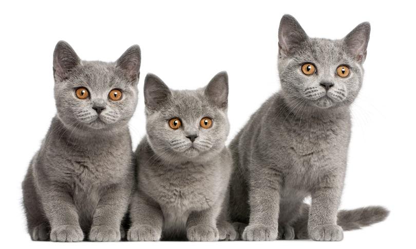 British Shorthair kittens_Eric Isselee_shutterstock