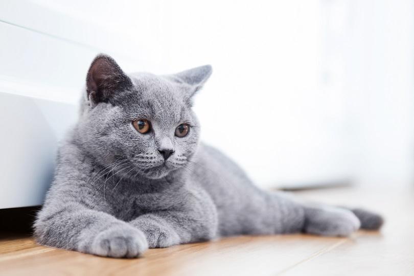 British Shorthair pedigreed kitten with blue gray fur_PHOTOCREO Michal Bednarek_shutterstock