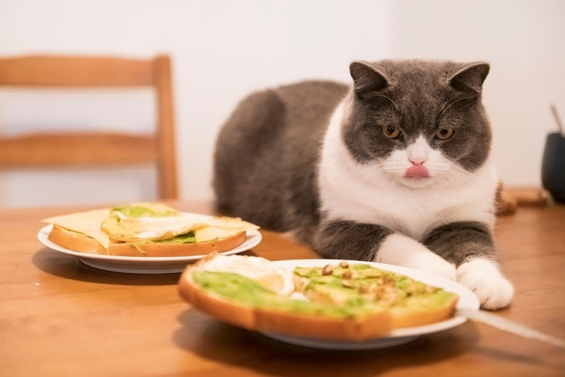 British short-haired cat lying on the table_chendongshan_shutterstock