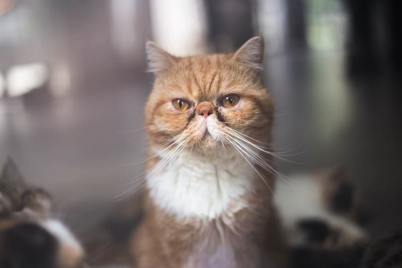 Brown Exotic shorthair cat