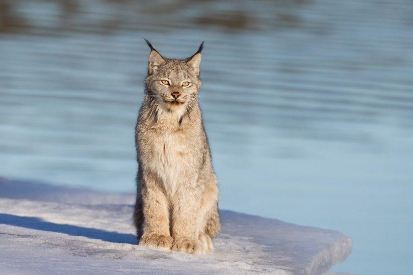 Canadian Lynx_Jukka Jantunen_shutterstock