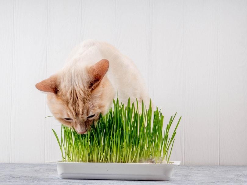 Cat eating fresh green grass