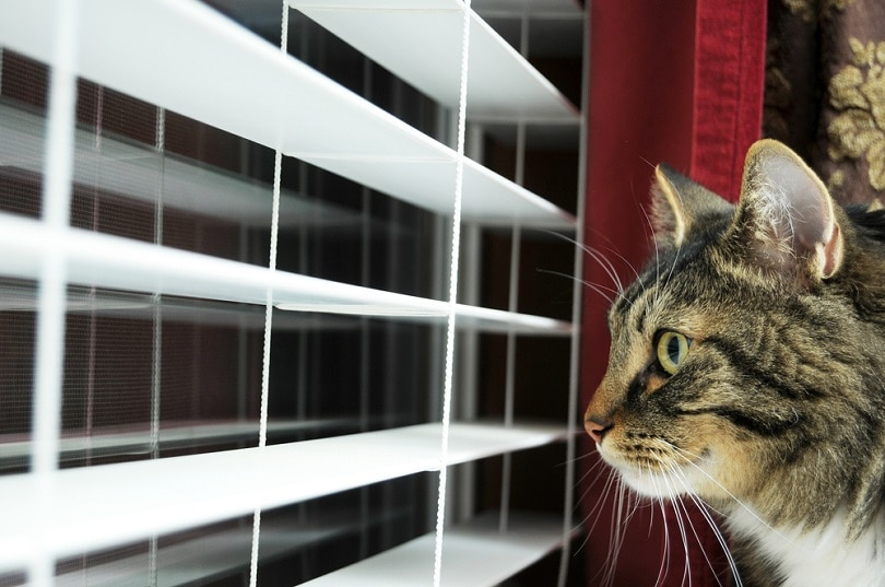 Cat waiting for his master to get home