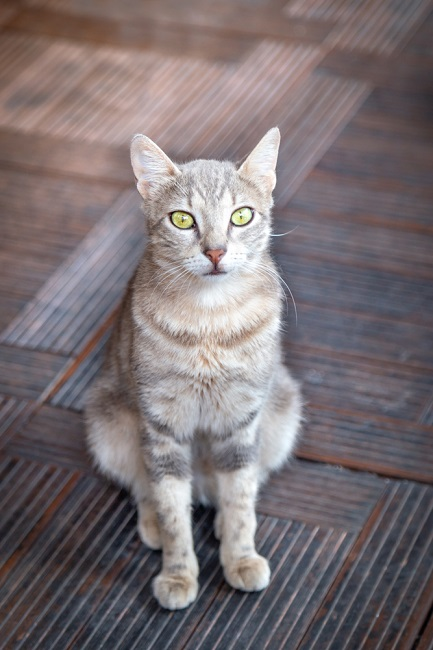 Cheetoh cat female_garmoncheng_shutterstock