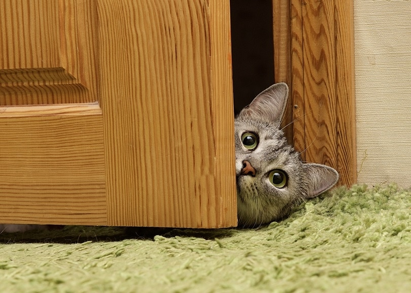 Curious cat looking between door