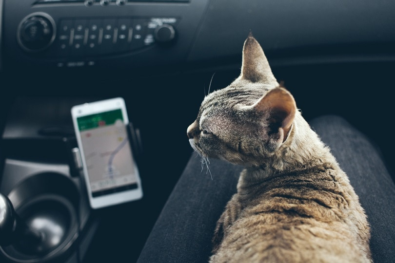 Devon Rex cat is travelling on owners lap in a car