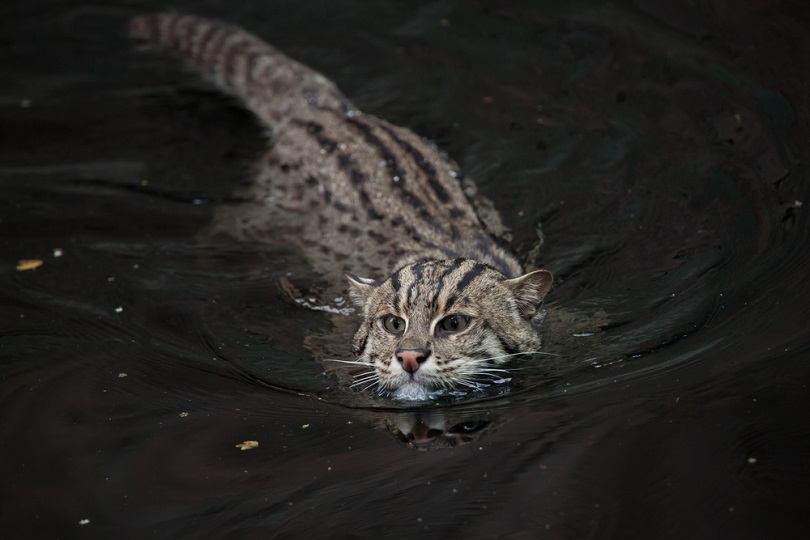 Fishing cat Prionailurus viverrinus_Vladimir Wrangel_shutterstock